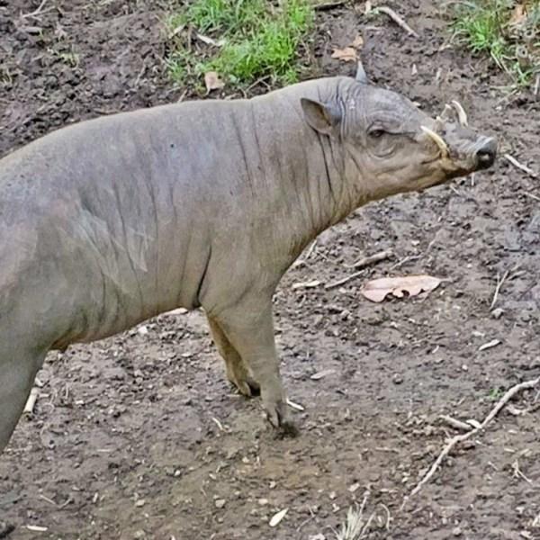 Dobby Babirusa Nashville Zoo