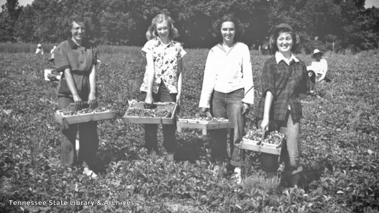Strawberry Picking at Portland, Tenn., May 23, 1950