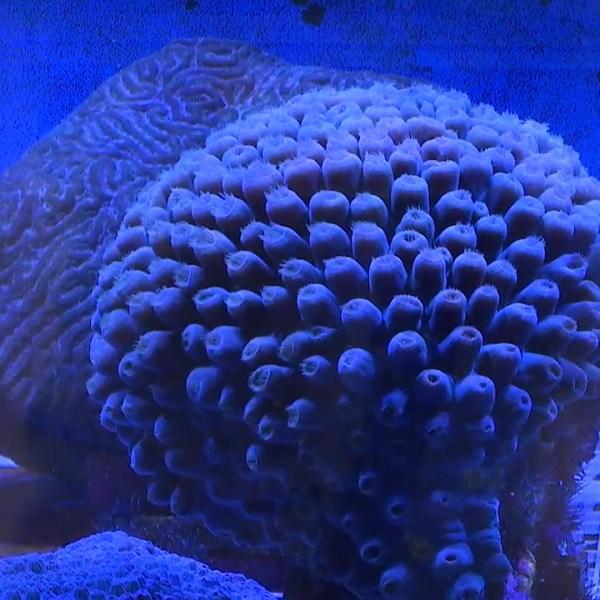 Zoopalooza Coral