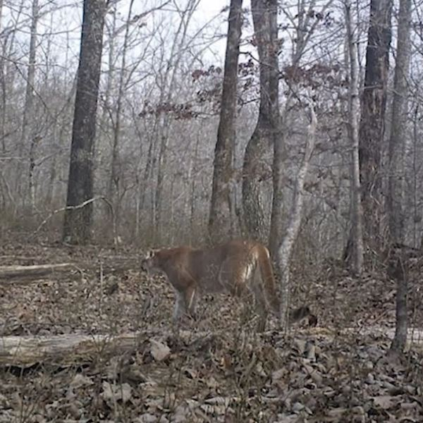 Cougar in Humphreys County