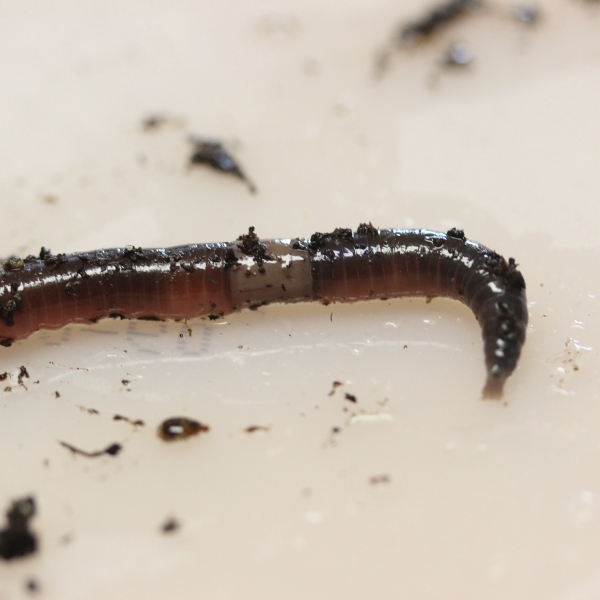 Jumping Worms