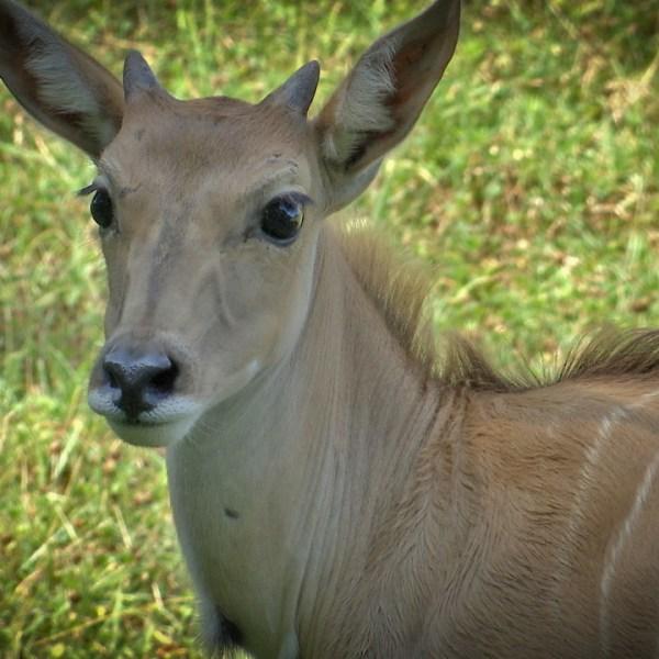 Murray Eland Nashville Zoo