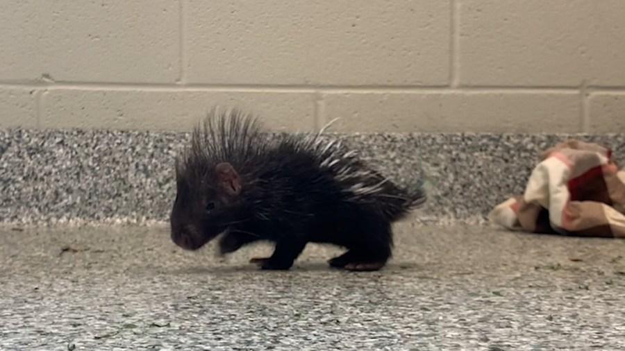 Nashville Zoo Porcupettes