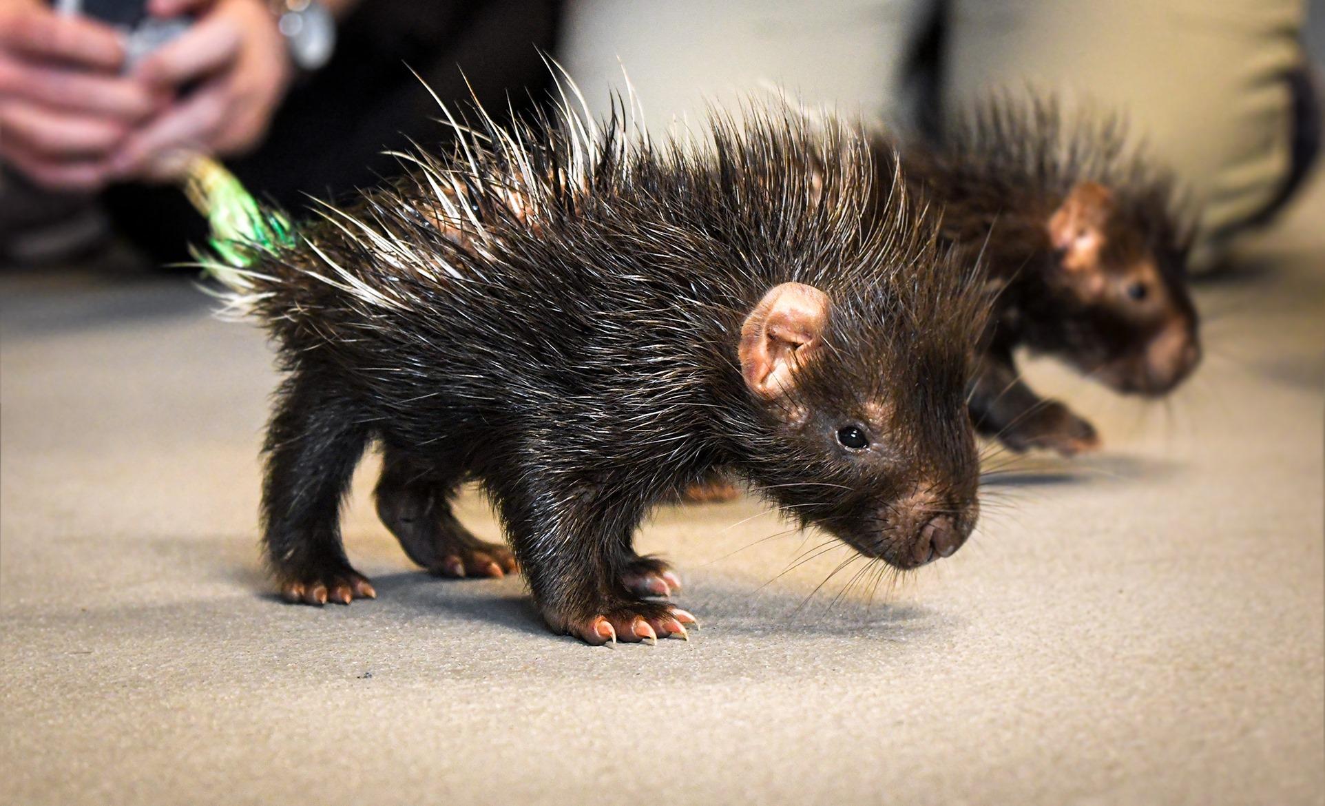 porcupettes nashville zoo