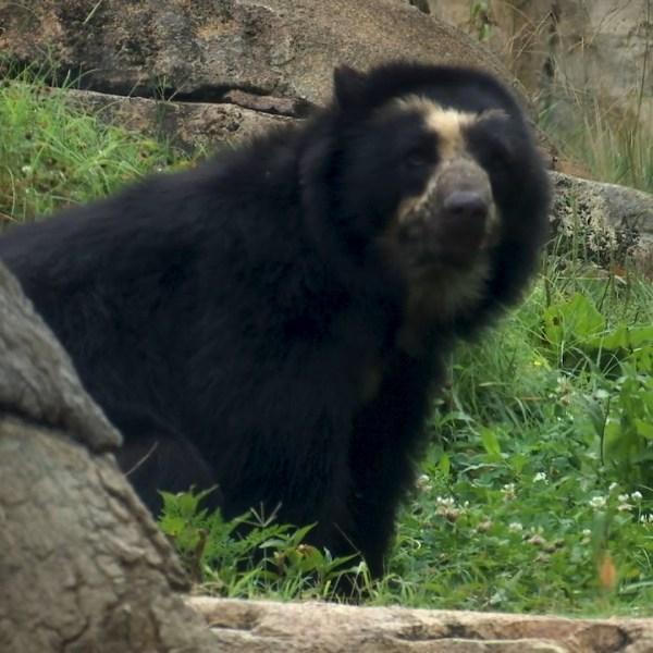 bears at Nashville Zoo