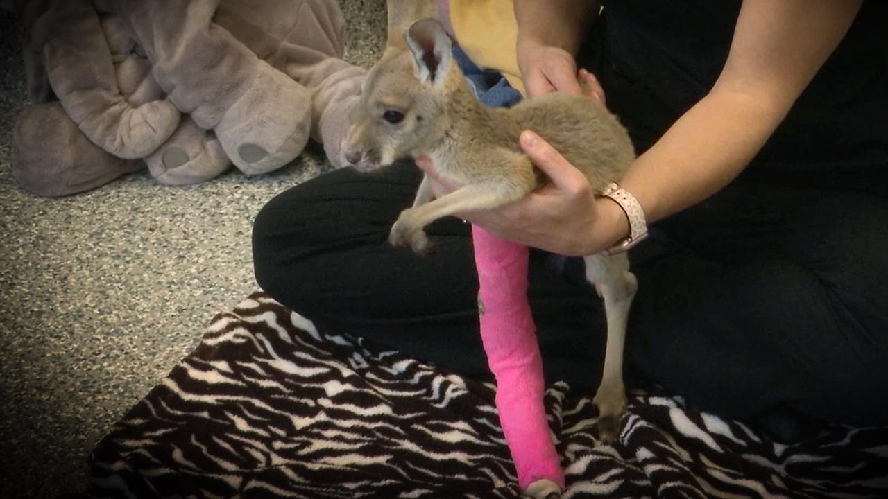 injured joey nashville zoo