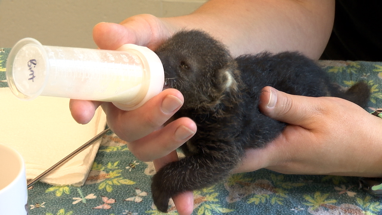 Baby Binturong, bearcat